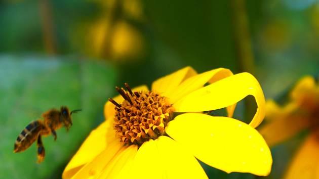 Podle včelařů z Vyškovska si počasí letos opět vybralo svou daň na množství medu. Včely tak donesly málo nektaru.