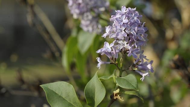 Šeříky kvetou obvykle na přelomu dubna a května. Před dvěma lety vykvetly v Podyjí i v říjnu.