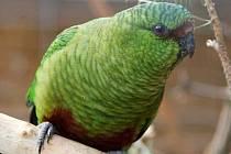V Papouščí zoo v Bošovicích mají unikátní druh: kognu smaragdového.