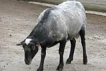 Koza.