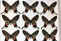 Ve Slavkově u Brna zabavili celníci přes tři stovky motýlů a brouků, včetně ohrožených druhů.