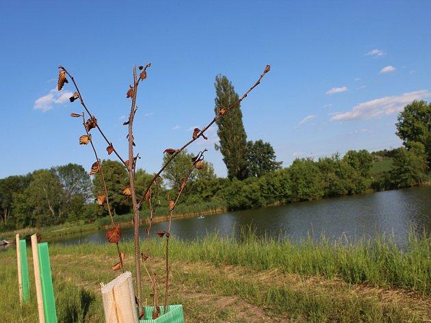 Víc než polovina loni vysázených stromků podél břehu Malého Kačence uschla.