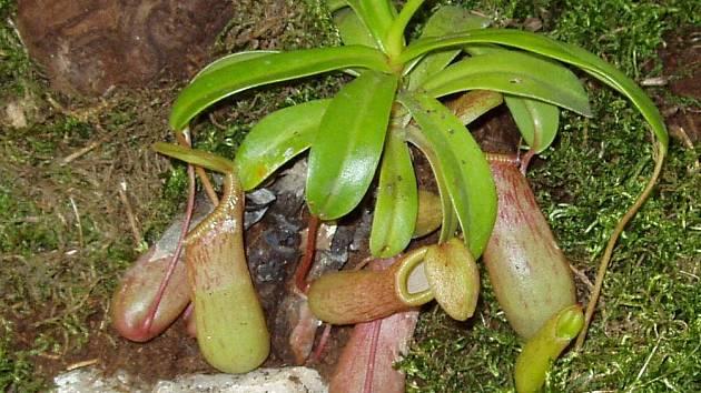 Masožravé rostliny vyžadují teplo a vlhko. Jeden z vystavovaných exemplářů.