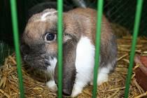Výstava králíků, drůbeže a holubů ve Slavkově u Brna