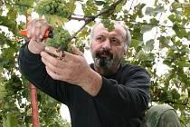 """Letošní úrodu hroznů si pochvaluje také František Doležal, který se stará o svůj vinohrad v Bučovicích. """"Jaké bude víno, se teprve ukáže. Bobule obsahují hodně cukru, ale chuť by mohl ovlivnit letošní nedostatek vody,"""" říká vinař."""