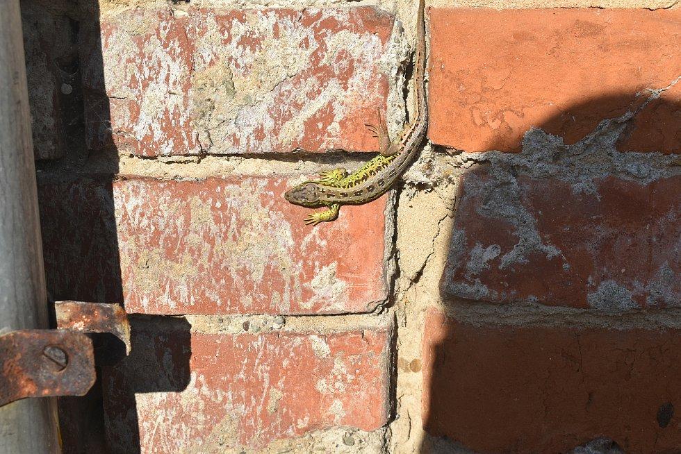 Zvědavá ještěrka se nechala vyfotografovat a téměř zapózovala.