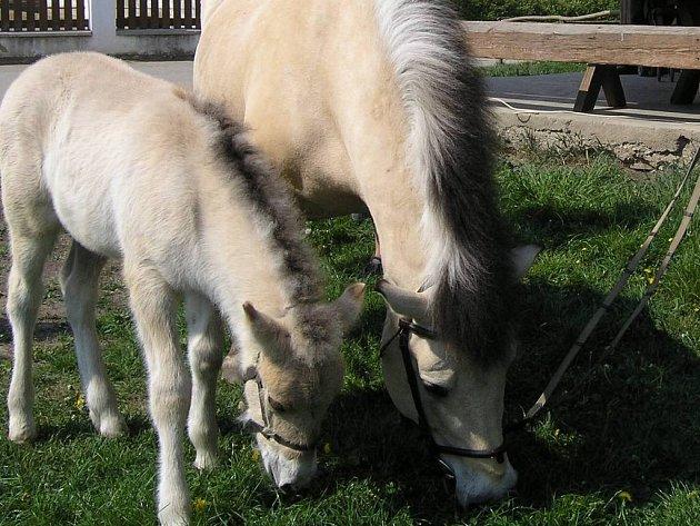 Jedním z čerstvě pokřtěných mláďat bylo hříbě koně fjordského. Od své mámy se  nehnulo ani na krok.