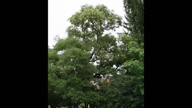 Vzácný strom jerlín japonský kvete právě v Rousínově.