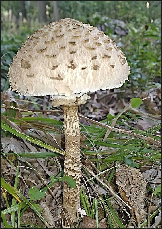 Září bylo na houby poměrně bohaté a příjemné počasí lákalo houbaře do lesů. Na snímku je bedla vysoká.