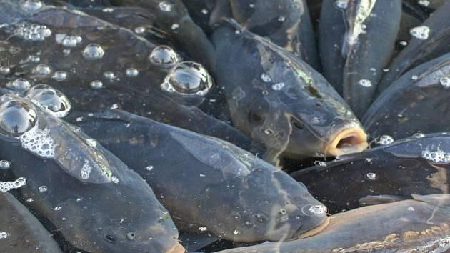 Kapři jsou k dostání před supermarkety, na tržišti ve Vyškově i v některých obchodech. Většina ryb pochází z pohořelických rybníků.