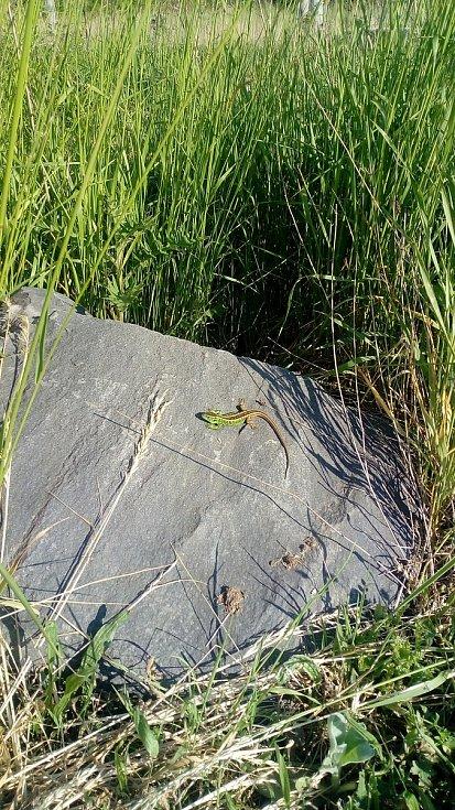 Ještěrka vyhřívající se na kameni nedaleko Rami ve Vyškově.