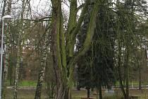 Starý kaštan u Bombastic clubu ve vyškovském parku Smetanovy sady má jít k zemi.