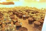 Z jedné ze slavkovských novostaveb policisté odvezli přes 800 rostlin marihuany.