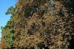 Klíněnka jírovcová po kaštanech začíná napadat i javory nebo vrby.