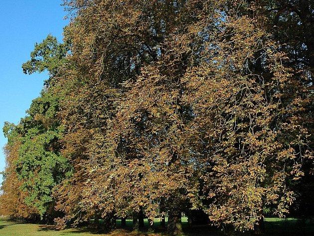 Klíněnka jírovcová napadla stromy ve slavkoském zámecké parku.