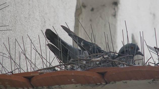 Boj radnice s holuby je nekonečný