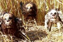 Postřeh a ohleduplnost kombajnisty zachránily život těmto mláďatům dravého ptáka motáka pochopa.
