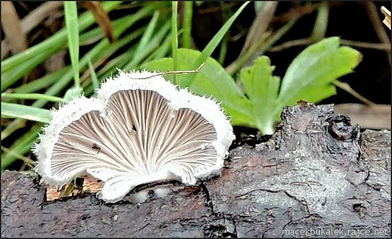 Září bylo na houby poměrně bohaté a příjemné počasí lákalo houbaře do lesů. Na snímku je klanolistka obecná.