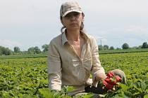Samosběr jahod na plantáži ve Chvalkovicích na Hané odstartoval.
