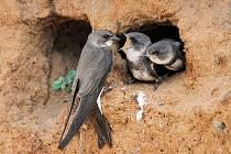 Rousínovský amatérský ornitolog Jiří Bartl připomíná, že Česká ornitologická společnost ptákem letošního roku zvolila břehuli říční.