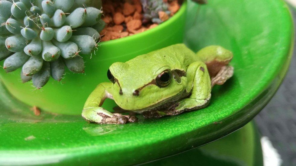 Foto rosničky zelené.