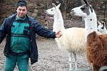 Návštěvníci zooparku si už fotí mláďata lamy krotké, jedno je tmavé.