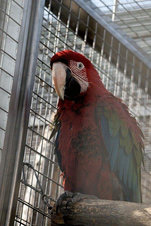 Papouščí zoo v Bošovicích na Vyškovsku, jaro 2021. Aru zelenokřídlý