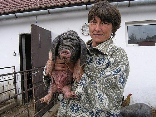 Veterinářka Dana Hyláková ukazuje čínské prasátko.