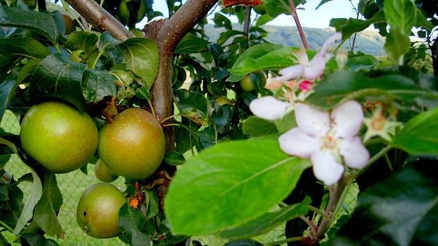 Příroda čaruje. Vedle zralých jablek to kvete