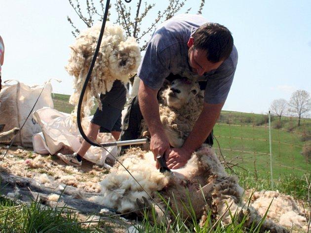 Přes tři stovky ovcí a beranů nechalo v uplynulých dnech ostříhat občanské sdružení Manner.