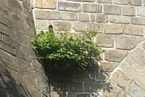 Rostlina, která vyrašila z kamenů vyškovského viaduktu, znervozňuje kolemjdoucí.