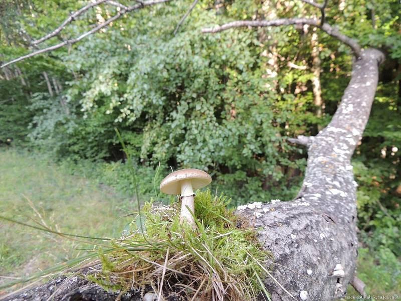 Září bylo na houby poměrně bohaté a příjemné počasí lákalo houbaře do lesů. Na snímku je muchomůrka růžovka.