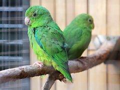 Nejmenší druhy papoušků na světě čekají v bošovické zoologické zahradě mláďata.