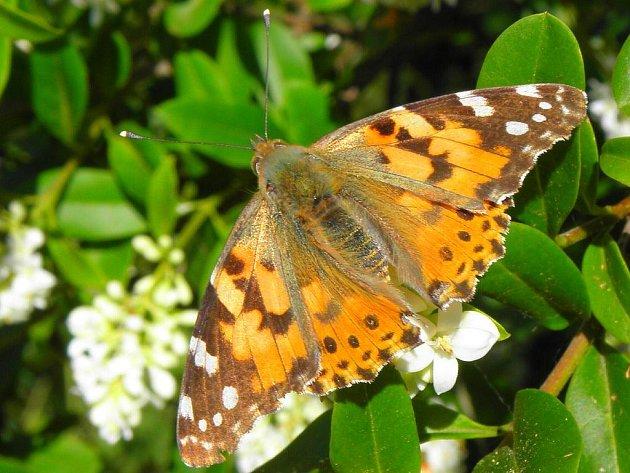 Hvězdlice směrem ke Zdravé vodě, louky kolem Orlovic, traviny u rybníka v Moravských Málkovicích, některé části Bučovicka a Slavkovska. Nejen z těchto míst lidé hlásí neobvykle velká hejna motýlů baboček.
