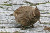 Objevují se ptáci, kteří v minulosti úplně vymizeli. Na snímku je ohrožený chocholouš obecný na vyškovském náměstí.