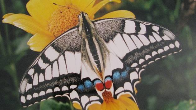 Václav Setínek vystavuje fotografie motýlů v Muzeu Vyškovska.