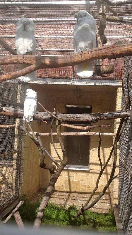 Kakadu bílý - bošovická zoo se chlubí celou rodinou.