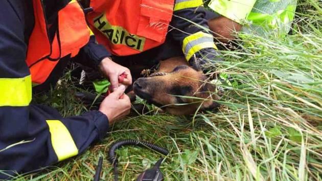 Dvě ovce kamerunské museli u dálnice D46 u Vyškova odchytit hasiči.