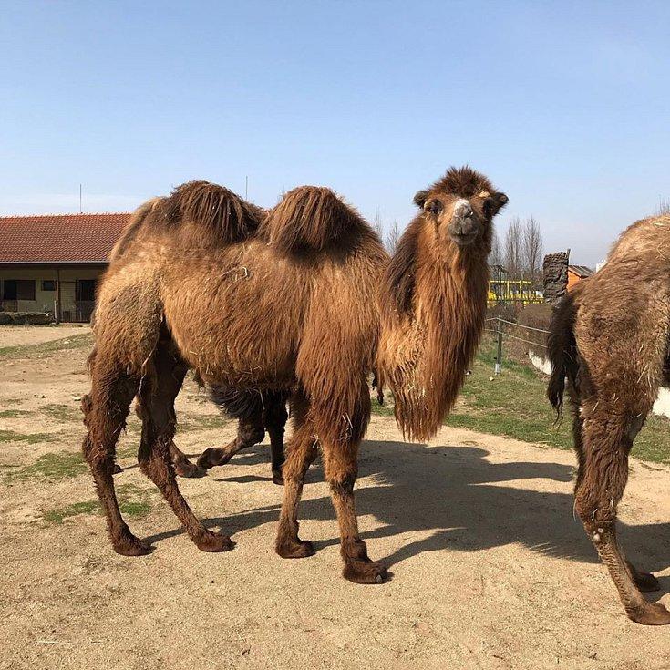 V Zoo se na návštěvníky těší dvouhrbí velbloudi. Samec Hasan by už potřeboval kadeřníka. Ale musíme ctít nařízení, zatím žádné kadeřnické služby nehrozí.