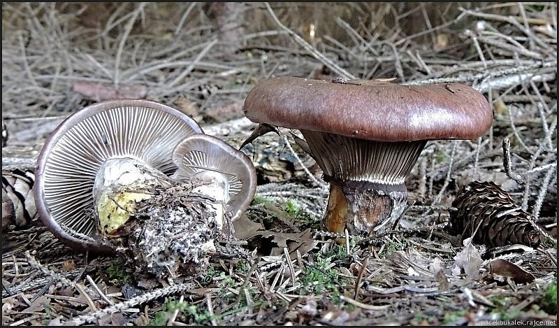 Září bylo na houby poměrně bohaté a příjemné počasí lákalo houbaře do lesů. Na snímku je slizák mazlavý.