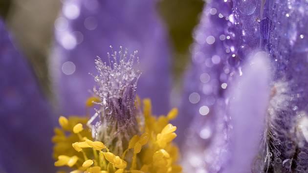 Zdánlivě obyčejné jarní květiny vypadají při východu slunce magicky.