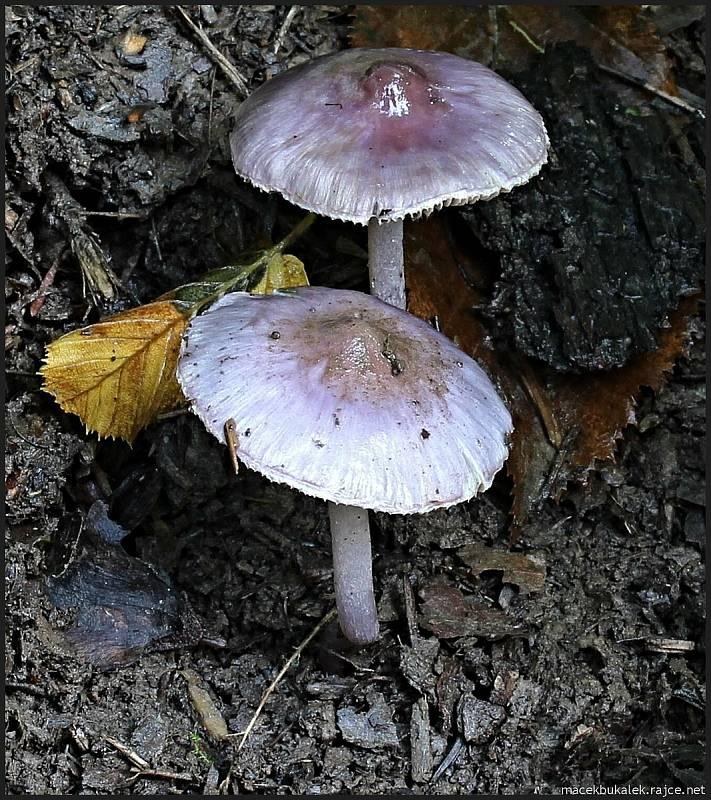 Září bylo na houby poměrně bohaté a příjemné počasí lákalo houbaře do lesů. Na snímku je vláknice zemní.