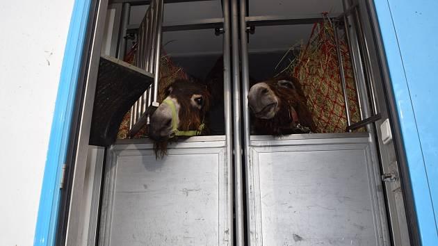 Vyškovské oslice odcestovaly do moskevské zoo.