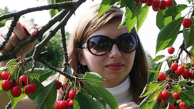Třešně na Vyškovsku sbírají lidé vesměs jen pro vlastní potřebu.