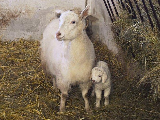 Kůzle kozy kašmírské narozené 1. ledna ve vyškovském zooparku.