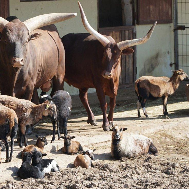 Stádo ovcí kamerunských společně s watusi již netrpělivě vyhlíží návštěvníky.