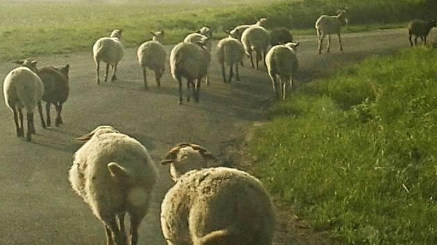 Nejednou překážely ovce na silnici u Pavlovic.