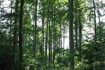 Partie bukového lesa v přírodní rezervaci U Vrby.