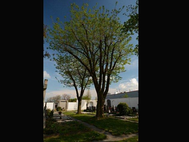 Dva korkovníky amurské rostou už téměř sedmdesát let na vyškovském hřbitově.