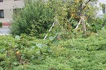 Trní a bodláky rostou mezi okrasnými dřevinami.